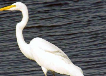 Nice White Heron